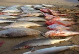 Poissons: Carpes rouges requins...